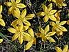 Starr 021019-0011 Zephyranthes citrina.jpg