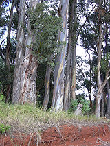 Pale grey trunks of two large and half a dozen smaller eucalyptus trees