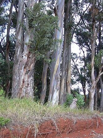 Eucalyptus globulus - E. globulus in Hawaii