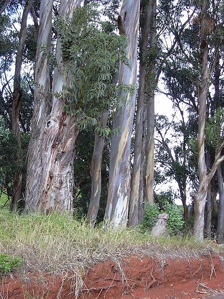 File:Starr 031002-0027 Eucalyptus globulus.jpg