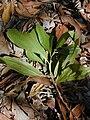Starr 031013-0013 Acacia mangium.jpg