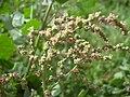 Starr 040120-0077 Chenopodium oahuense.jpg