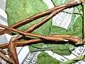 Starr 050427-0934 Macroptilium lathyroides.jpg
