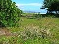 Starr 050717-2783 Cyperus javanicus.jpg