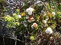 Starr 050815-7337 Leptecophylla tameiameiae.jpg