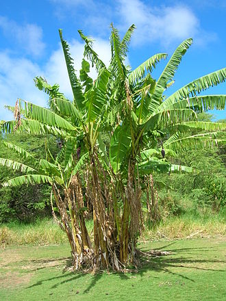 Musa (genus) - Banana plants, Kanaha Beach, Maui