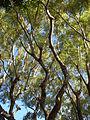 Starr 061223-2707 Jacaranda mimosifolia.jpg