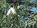 Starr 070124-3828 Nerium oleander.jpg