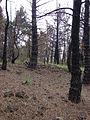 Starr 070908-9161 Pinus sp..jpg