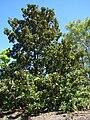 Starr 071024-0314 Magnolia grandiflora.jpg