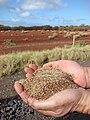Starr 080210-2735 Eragrostis variabilis.jpg
