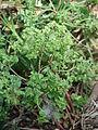 Starr 080531-4852 Euphorbia peplus.jpg