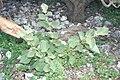 Starr 990419-0567 Solanum nelsonii.jpg