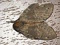 Stauropus fagi - Lobster moth - Вилохвост буковый (40242245615).jpg