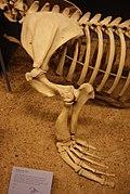 Steller sea lion (Eumetopias jubatus) forelimb at the Field Museum, Chicago, IL (15130145368).jpg