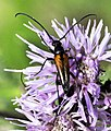 Stenurella-melanura-02-fws.jpg