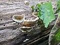 Stereum subtomentosum 21861360.jpg