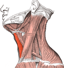 musculus sternohyoideus