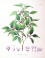 Stewartia monadelpha SZ96.png