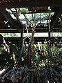 Strangler Fig Grown through Ruins Roof top - panoramio.jpg