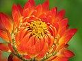 Straw Flower Glow.jpg
