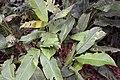 Strelitzia reginae 3zz.jpg