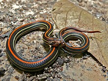 Striped Kukri Snake (Oligodon octolineatus) (6749987741).jpg