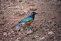 Superb starling, Lake Manyara National Park (1) (28502513211).jpg