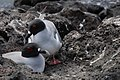 Swallow-tailed Gulls 311882011.jpg
