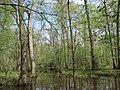 Swamp in Sam Houston NF.jpg