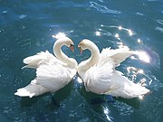 "The swan is an important motif in Advaita Vedanta. Its symbolic meanings are: firstly; upon verbally repeating hamsa (the Sanskrit word for Swan), it becomes soham (Sanskrit, ""I am That""). Secondly, even as a swan lives in water its feathers are not soiled by water, a liberated Advaitin lives in this world full of maya but is untouched by its illusion. Thirdly, a monk of the Dashanami order is called a Paramahamsa (""the supreme swan"")"