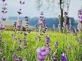 Sweet lavender in a green field (Unsplash).jpg