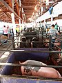 Swine barn - Wasco County Fair 2014.jpg