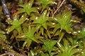 Syntrichia norvegica (a, 145544-474322) 4225.JPG