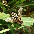 Syrphus sp. - Flickr - gailhampshire.jpg