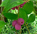 Syzygium smithii 4.jpg
