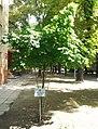 Szpital dzieciątka jezus drzewo transplantologiczne.jpg