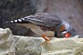Taeniopygia guttata Kristiansand Zoo 02.JPG
