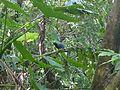 Taiwan blue magpie 1.jpg