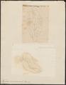 Tapirus americanus - 1700-1880 - Print - Iconographia Zoologica - Special Collections University of Amsterdam - UBA01 IZ22000265.tif