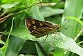 Taractrocera ceramas – Tawny-spotted Grass Dart - Tamil Grass Dart. 01.jpg