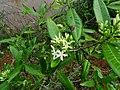 Tarenna asiatica - Asiatic Tarenna 13.jpg
