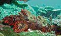 Tassled Scorpionfish (Scorpaenopsis oxycephala) (6093897364).jpg