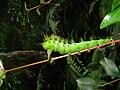 Taturana verde 2.jpg