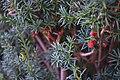 Taxus baccata (Taxaceae).jpg