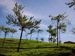 Tea plantations at Kumily
