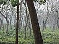Tea gardens Srimangal Sreemangal Upazila Moulvibazar Maulvibazar Moulavibazar Sylhet 10.jpg