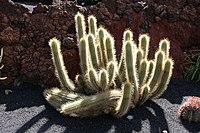 Teguise Guatiza - Jardin - Echinopsis thelegonoides 01 ies.jpg
