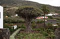 Tenerife Icod de los Vinos Dracaena.jpg