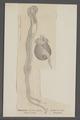 Teredo fatalis - - Print - Iconographia Zoologica - Special Collections University of Amsterdam - UBAINV0274 080 02 0007.tif